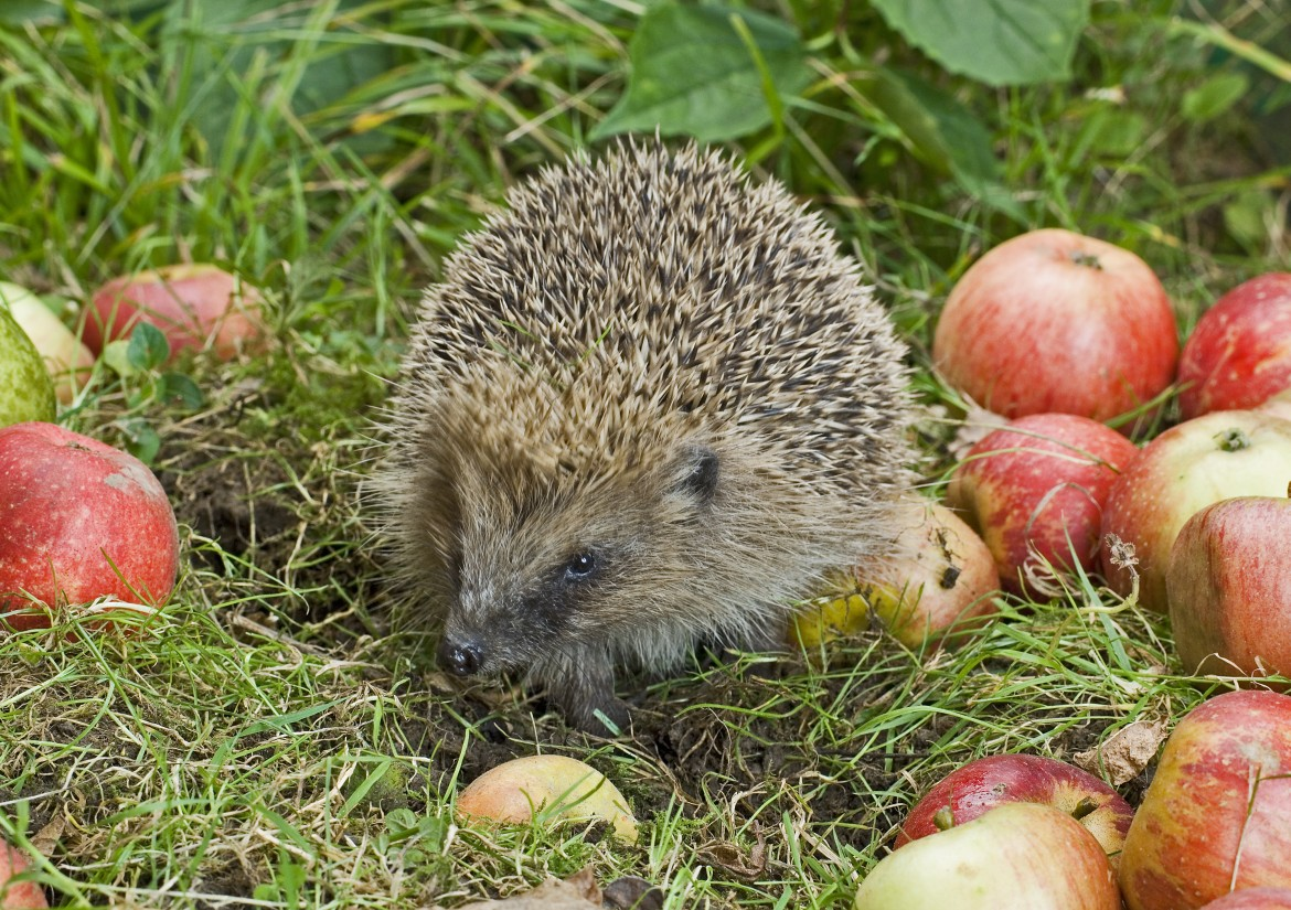 European Hedgehog (Erinaceus europaeus) adult, foraging amongst fallen apples, Sussex, England