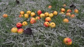 Apples on frosty grass
