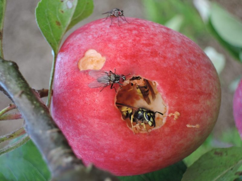 Apples & wasps (9)