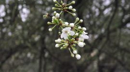 Early pear blossom