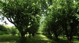 Summer Bramley orchard