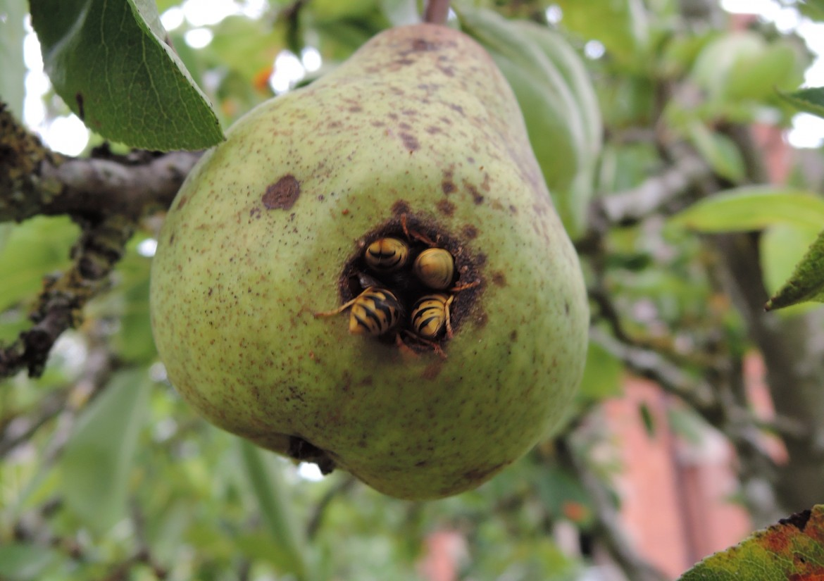Pear & Wasps (3)