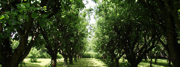 Worcs Summer orchard
