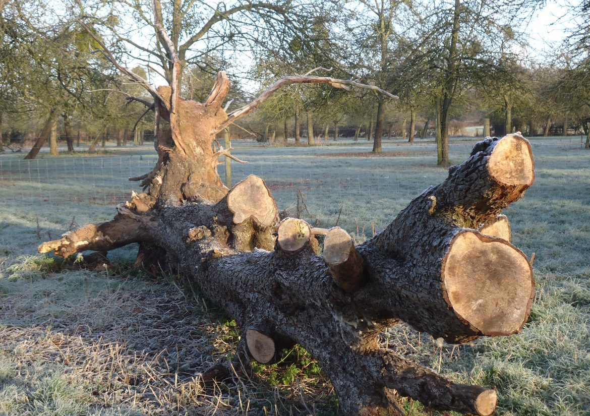 fallen tree wintry - HCF