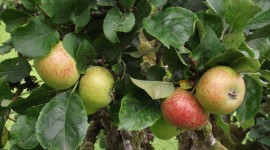 group of apples on tree