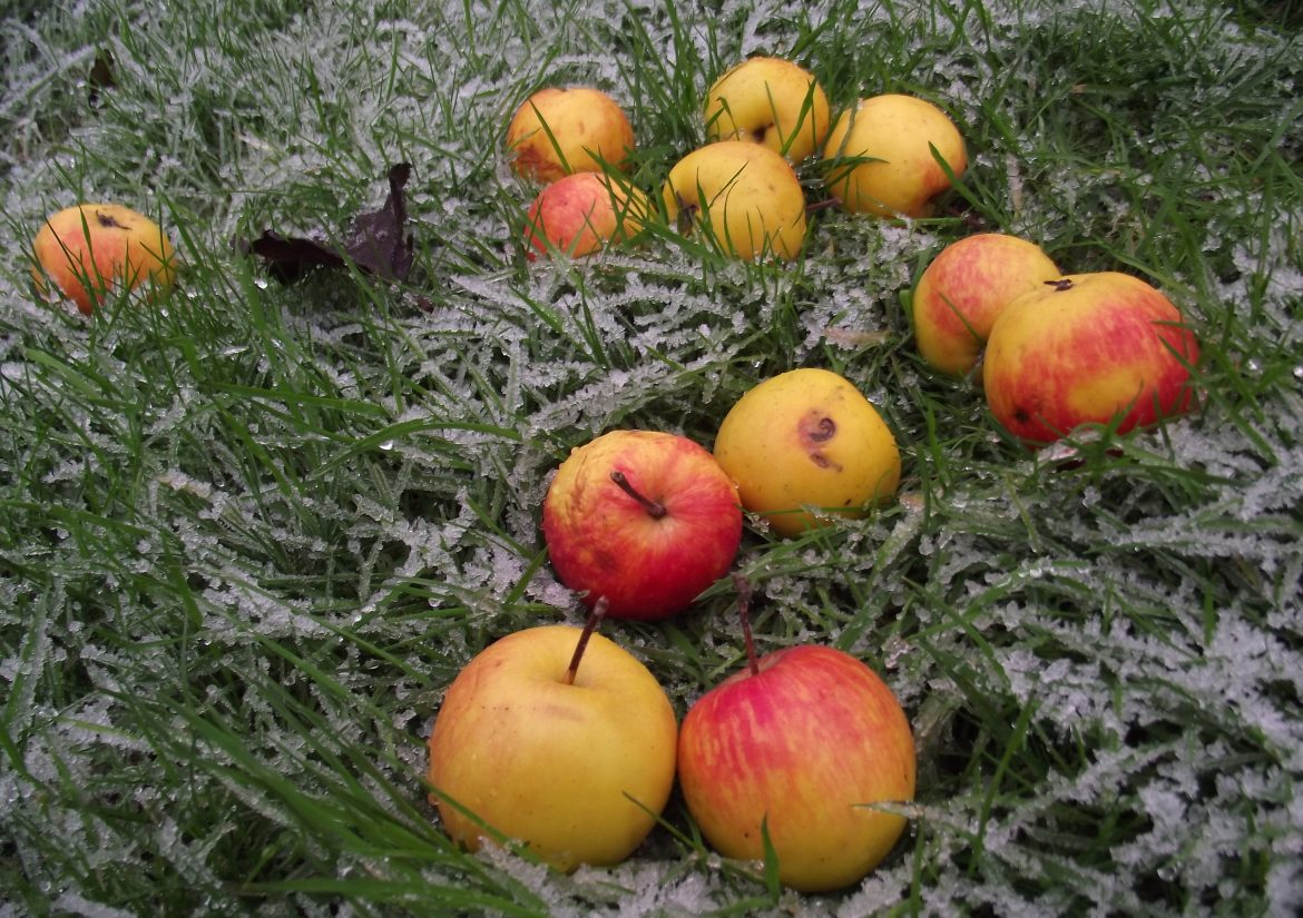 Apples on frosty grass 006