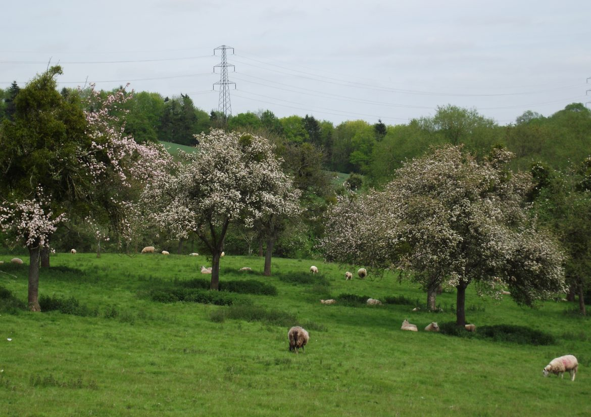 Oxnalls orchard visit May 2015 with Harriet Carty 005
