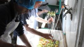 Washing apples in prep for juicing