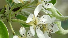 Worcestershire Black Pear Blossom