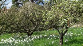 Spring in Apple Orchard