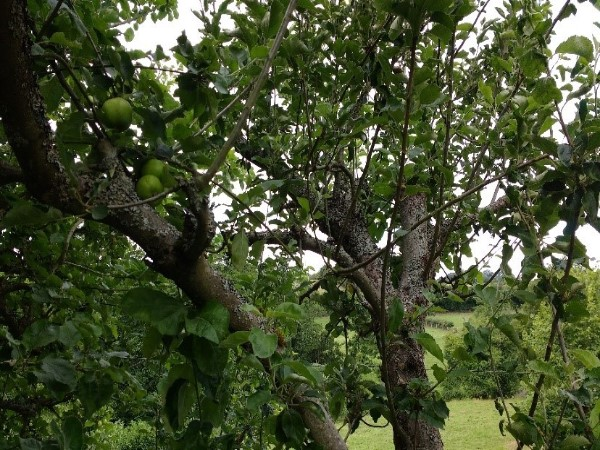 Congested Bramley Apple Tree